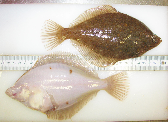 Slgo marine species identification guide for the st for California saltwater fish species